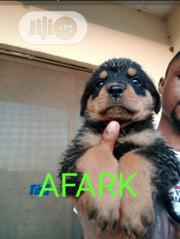 Baby Female Purebred Rottweiler | Dogs & Puppies for sale in Ondo State, Akure South