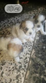Baby Female Purebred Lhasa Apso | Dogs & Puppies for sale in Ondo State, Akure South