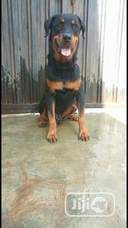 Adult Male Purebred Rottweiler | Dogs & Puppies for sale in Oyo State, Ibadan North East