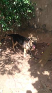 Adult Female Purebred German Shepherd Dog | Dogs & Puppies for sale in Edo State, Ikpoba-Okha