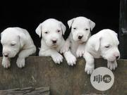 Baby Male Purebred | Dogs & Puppies for sale in Rivers State, Obio-Akpor