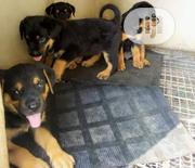 Baby Male Purebred Rottweiler | Dogs & Puppies for sale in Ogun State, Ado-Odo/Ota
