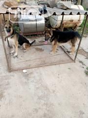 Adult Female Purebred German Shepherd Dog | Dogs & Puppies for sale in Oyo State, Ibadan North East