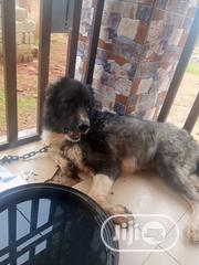 Young Male Purebred Caucasian Shepherd Dog | Dogs & Puppies for sale in Enugu State, Nsukka