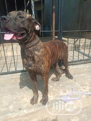 Adult Male Purebred Boerboel | Dogs & Puppies for sale in Oyo State, Ibadan