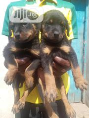 Baby Male Purebred Rottweiler | Dogs & Puppies for sale in Oyo State, Ibadan North