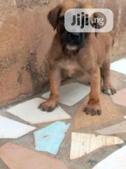 Baby Male Purebred Boerboel | Dogs & Puppies for sale in Edo State, Oredo