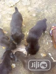 Baby Female Mixed Breed Boerboel | Dogs & Puppies for sale in Rivers State, Port-Harcourt