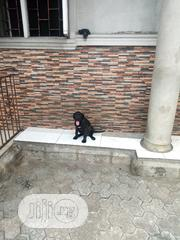 Baby Female Purebred Cane Corso | Dogs & Puppies for sale in Rivers State, Port-Harcourt