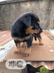 Baby Male Purebred Rottweiler | Dogs & Puppies for sale in Oyo State, Ibadan South West