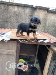 Baby Female Purebred Rottweiler | Dogs & Puppies for sale in Oyo State, Ibadan South West