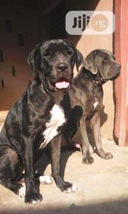 Adult Female Purebred Neapolitan Mastiff | Dogs & Puppies for sale in Ondo State, Akure South