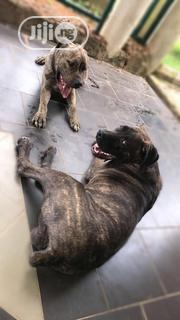 Adult Female Purebred Boerboel | Dogs & Puppies for sale in Ondo State, Akure South