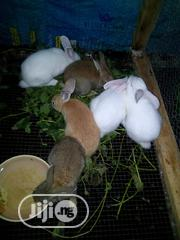 Rabbit For Sale | Livestock & Poultry for sale in Lagos State, Ikorodu