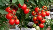 F1 Tomatoes Seeds | Feeds, Supplements & Seeds for sale in Kano State, Fagge
