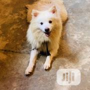 Adult Male Purebred American Eskimo Dog | Dogs & Puppies for sale in Ogun State, Ijebu Ode