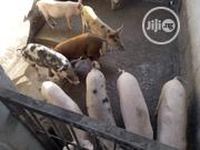 Mature Gilts | Livestock & Poultry for sale in Ogun State, Ifo