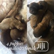 Baby Male Purebred Lhasa Apso | Dogs & Puppies for sale in Edo State, Oredo