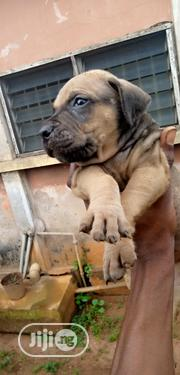 Baby Male Purebred Boerboel | Dogs & Puppies for sale in Edo State, Egor