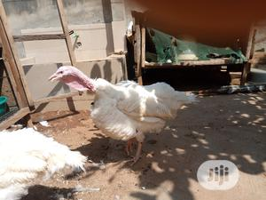 Live Turkey For Sale