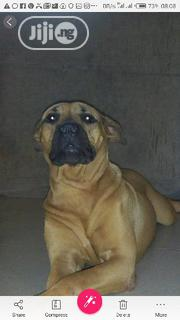 Young Female Purebred Boerboel | Dogs & Puppies for sale in Ogun State, Odeda
