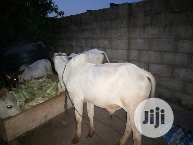 Archive: Bokolo Cow For Sale