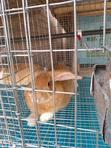 Rabbits And Bunnies   Livestock & Poultry for sale in Sapele, Delta State, Nigeria