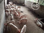Hybrid Piglets Of Large White And Landrace Cross Are For Sale | Livestock & Poultry for sale in Enugu State, Enugu South