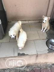 Baby Male Purebred Japanese Spitz | Dogs & Puppies for sale in Abuja (FCT) State, Wuse