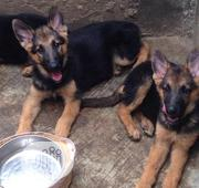 Baby Female Purebred German Shepherd Dog | Dogs & Puppies for sale in Lagos State, Egbe Idimu