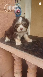 Baby Male Purebred Lhasa Apso | Dogs & Puppies for sale in Lagos State, Agege