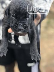 Baby Male Purebred Cane Corso | Dogs & Puppies for sale in Edo State, Oredo