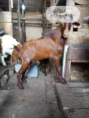 Healthy Big ( Ogufe ) Goat Available   Livestock & Poultry for sale in Lagos State, Lagos Island