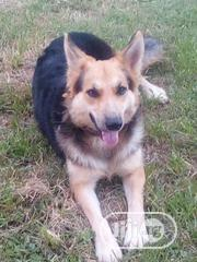 Adult Female Purebred German Shepherd Dog   Dogs & Puppies for sale in Abuja (FCT) State, Gaduwa