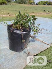 Peppermint Plant Seedlings | Feeds, Supplements & Seeds for sale in Abuja (FCT) State, Jabi