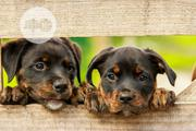 Baby Female Purebred Rottweiler | Dogs & Puppies for sale in Edo State, Ikpoba-Okha