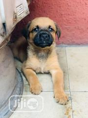 Baby Male Purebred Caucasian Shepherd Dog | Dogs & Puppies for sale in Ondo State, Owo