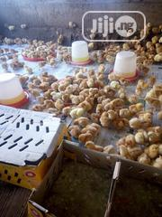 Olats Farms And Agro Broilers , Doc , Battery Cage Available | Livestock & Poultry for sale in Ogun State, Ifo