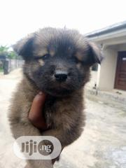Baby Male Purebred Chow Chow | Dogs & Puppies for sale in Rivers State, Ikwerre