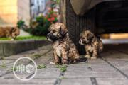 Baby Female Purebred Lhasa Apso | Dogs & Puppies for sale in Rivers State, Port-Harcourt