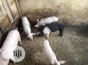 Available Weaners For Sale | Livestock & Poultry for sale in Lagos State, Ikorodu