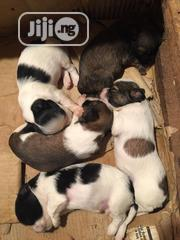 Baby Female Purebred Lhasa Apso | Dogs & Puppies for sale in Edo State, Ikpoba-Okha