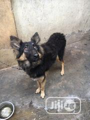 Adult Female Purebred German Shepherd Dog | Dogs & Puppies for sale in Oyo State, Ibadan North West