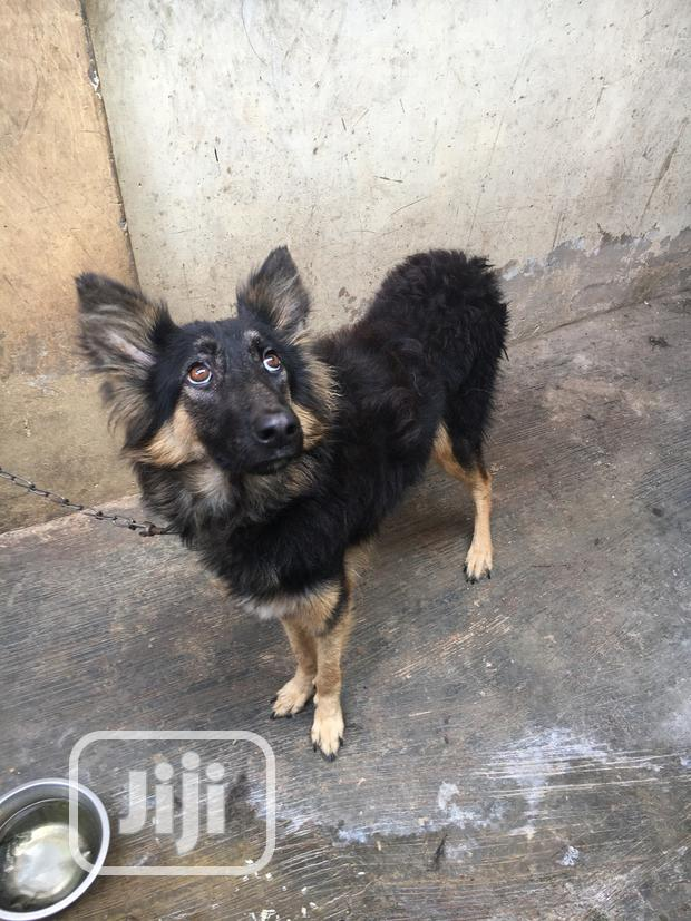 Archive: Adult Female Purebred German Shepherd Dog