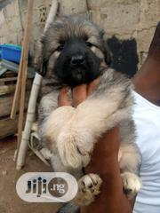 Young Female Purebred Caucasian Shepherd Dog | Dogs & Puppies for sale in Lagos State, Ikotun/Igando