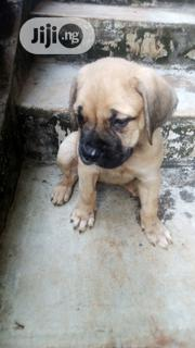 Baby Female Purebred Boerboel | Dogs & Puppies for sale in Ogun State, Ijebu Ode