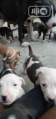 Baby Male Purebred American Pit Bull Terrier | Dogs & Puppies for sale in Osun State, Osogbo