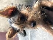 Baby Female Purebred Yorkshire Terrier | Dogs & Puppies for sale in Lagos State, Shomolu