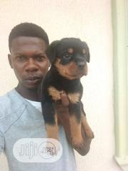 Baby Female Purebred Rottweiler | Dogs & Puppies for sale in Osun State, Osogbo