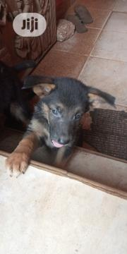 Baby Male Purebred German Shepherd Dog | Dogs & Puppies for sale in Edo State, Egor
